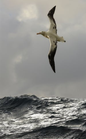 Wandering albatross (Diomedea exulans) South Atlantic Ocean  Wandering albatross populations have dropped rapidly, due to being birds getting snared by long line fisheries. One population, from Bird Island, South Georgia, declined by 50% between 1972-2010.