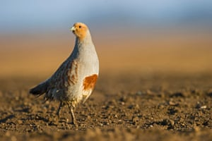 Grey partridge (Perdix perdix) UK Farmland birds in the UK, such as Grey partridge, have declined by 50% between 1970 and 2012 mainly due to changes to intensification of farming