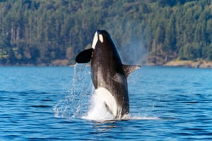 An orca in San Juan Islands.