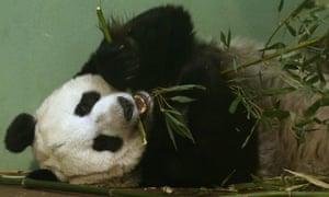 tia tian panda