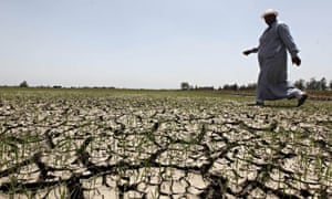 An Egyptian farmer walks past his crops damaged by drought in a farm formerly irrigated by the Nile