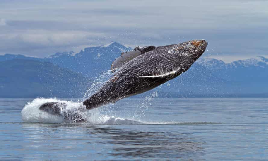 Close Encounter With Breaching Humpback Whales