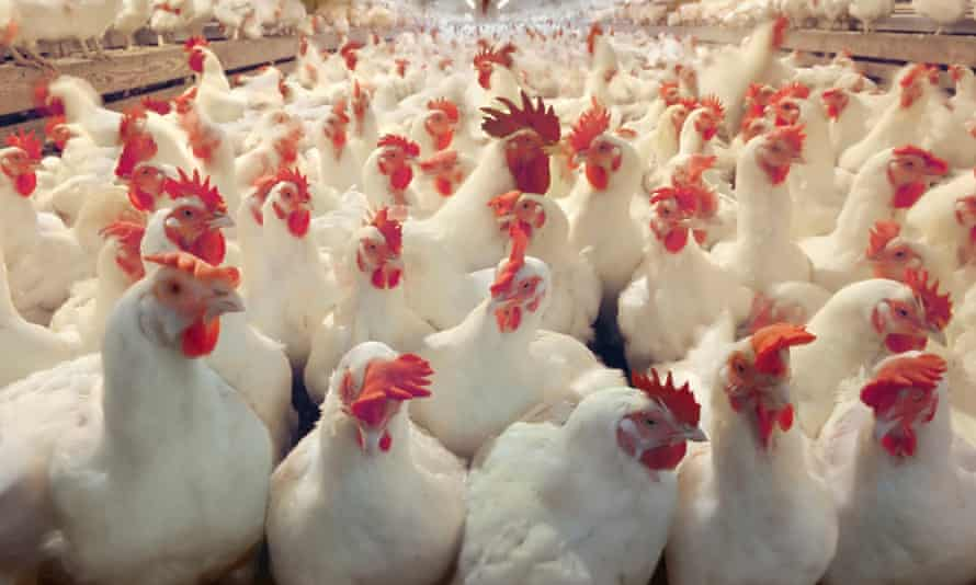 Chicken and other animals in factory farms are frequently fed levels of antibiotics that experts say could encourage dangerous resistance.