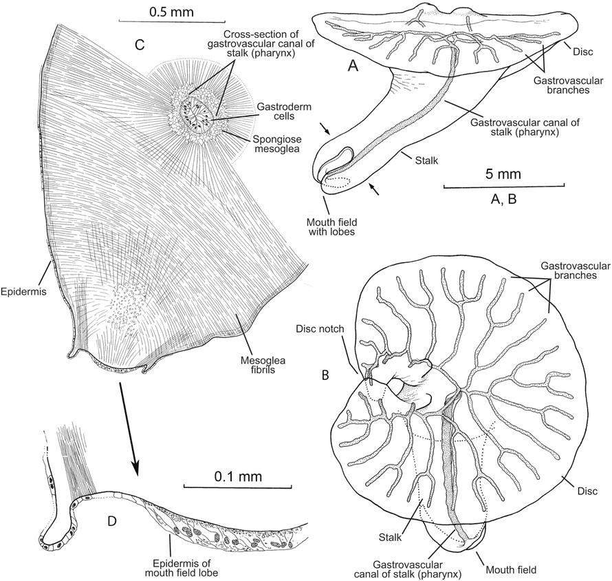 Dendrogramma enigmatica drawing