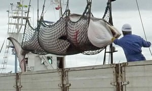 A minke whale is unloaded at a port in Kushiro