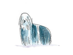 Bearded Collie: This beardy is no weirdy.