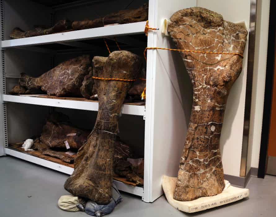 Dinosaur discovery: A humerus bone, right, and a tibia bone from a the mighty dreadnaughtus schrani skeleton at Drexel University in Philadelphia.