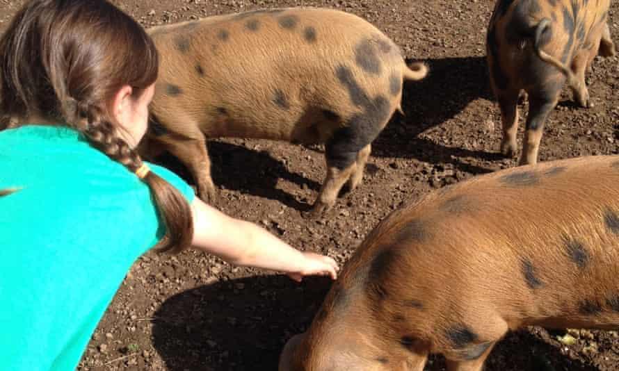 Pig Society