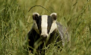 Pilot badger culls last year were seen as failures, ending a plan by ministers to roll out culling across the nation