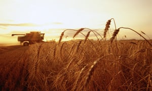 Wheat being harvested in Minnesota, US.