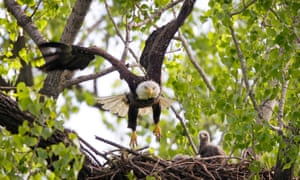 A bald eagle flies from its nest as an eaglet looks on, Tuesday, April 17, 2012, at Gray's Lake Park in Des Moines, Iowa.   (AP Photo/Charlie Neibergall)