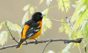 Baltimore Oriole in Oak Tree