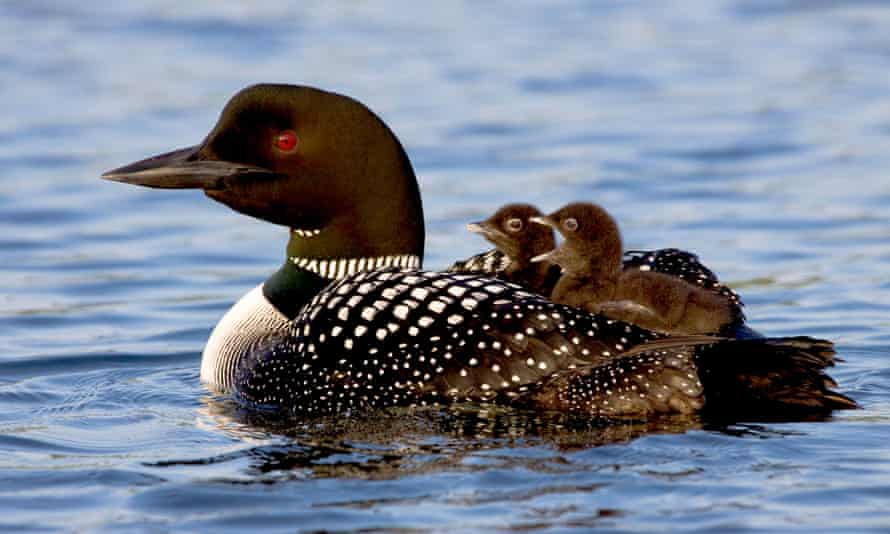 Common Loon (Gavia immer) with downy young riding on back, in a Matanuska Valley lake. Alaska