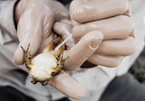 A researcher swabs the legs of a Mountain Yellow-legged Frog, Rana muscosa, from the pristine lakes of California to test for the presence of a deadly fungal killer. The frog has gone from one of the most abundant vertebrates in the USA to one of the rarest.