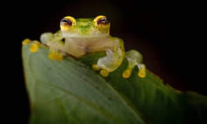 A Reticulated Glass Frog in the Chocó forests of Colombia. Armed conflict has kept developers out of these forests, resulting in vast swathes of lush rainforest and a high diversity of frogs.