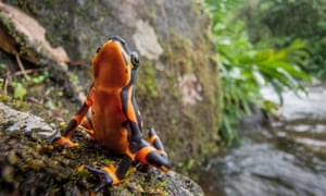 Years and decades after the disappearance of some species, they reappeared to the surprise and amazement of the scientific community. The Variable Harlequin Frog, Atelopus varius, disappeared from the forests of Costa Rica and Panama before being rediscovered in 2003. The reappearance of these Lazarus frogs could help us decipher how we prevent these and other frogs succumbing to extinction.