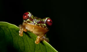 In order to address the massive decline and extinction of amphibians worldwide the Amphibian Survival Alliance is addressing the primary threats of habitat loss and disease. New reserves are being created to protect critical habitat for species such as this Guatemalan Brook Frog, Duellmanohyla soralia, and ensure a brighter future for frogs and for us.