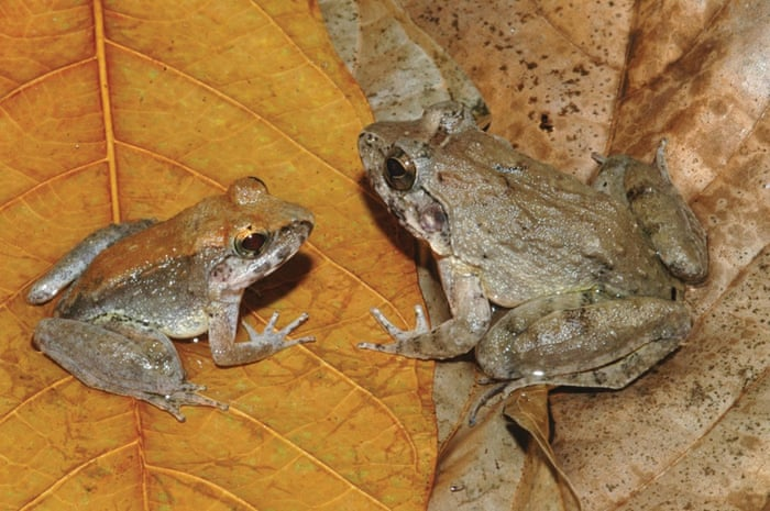 The newly described frog L. Larvaepartus, male (L) and female, are pictured from the island of Sulawesi in Indonesia, in this undated handout photo provided by Jim McGuire. This little amphibian from the rain forests of Indonesia's island of Sulawesi is the world's only frog that gives birth to tadpoles, eschewing the common froggy practice of laying eggs,scientists said on December 31, 2014.