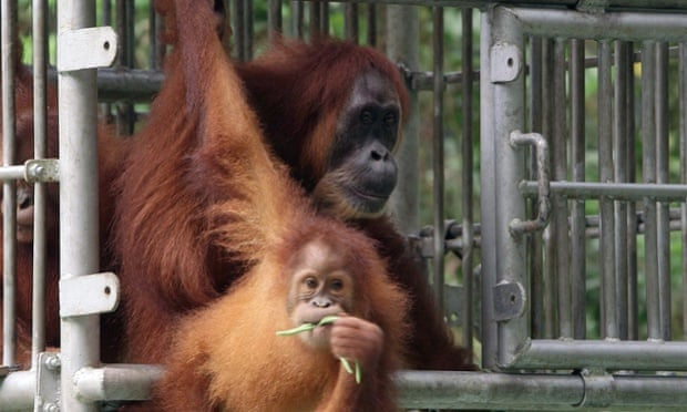 Video: Blind orangutan released into the wild in Indonesia after sight restored