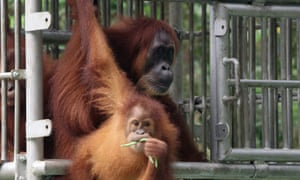 Orangutans Gober (back) and her infant Ginting upon their release to a conservation forest in Aceh as part of a reintroduction project.