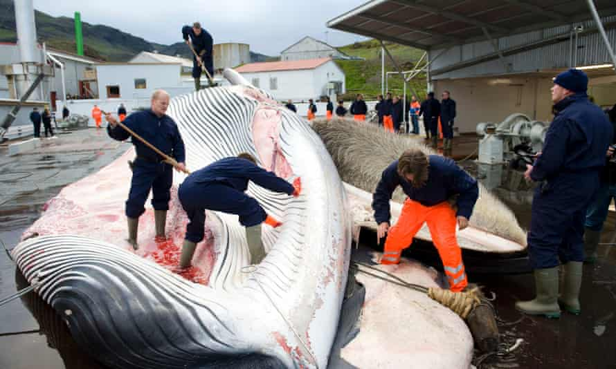 Whalers cut open a 35-tonne Fin whale on June 19, 2009, one of two fin whales caught aboard a Hvalur boat off the coast of Hvalfjsrour, north of Reykjavik, on the western coast of Iceland. Denmark on June 23, 2009 officially requested permission to resume hunting humpback whales off Greenland, in a move that has angered environmentalists.