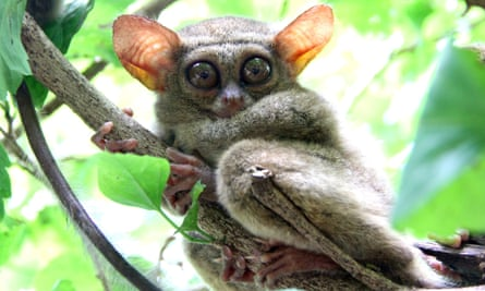 The nocturnal Indonesian tarsier, seen here resting on a tree branch, can be monitored at night using image intensifiers and infra-red cameras.