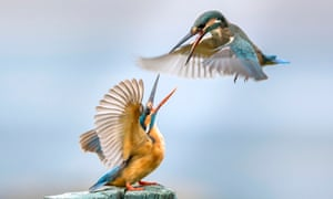 'That's my perch!' Kingfishers at Dal Lake, Srinagar.