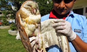 Injured barn owl