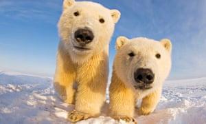 young polar bears alaska
