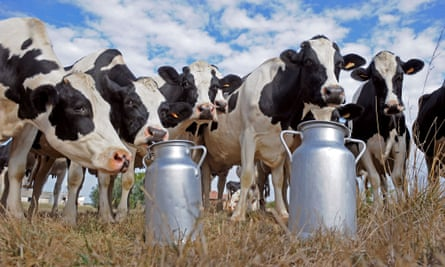 Cows standing by milk churns