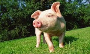 A piglet on grass