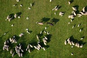 Two goats walk through a flock of sheep, northern Italy.