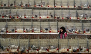 A girl looks at some of the homing pigeons at the show. Some pedigree birds can be sold for up to £10,000.