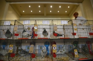Pigeons in their cages