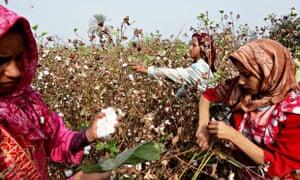 Egyptian cotton harvest