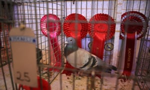 A prizewinning pigeon in front of its collection of rosettes.
