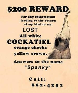 Spanky the cockatiel