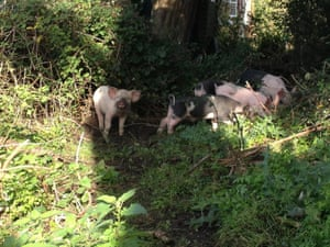 Piglets 5
