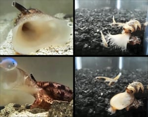 A geographic cone snail, Conus geographus, attacking a fish