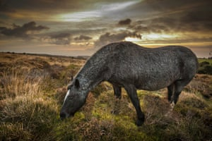 Somerset, United Kingdom A wild pony pictured on the Quantock Hills early this morning