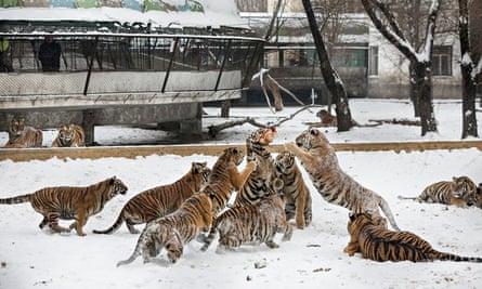 china tiger park