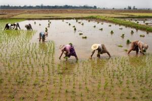 Farmers work in paddy fields