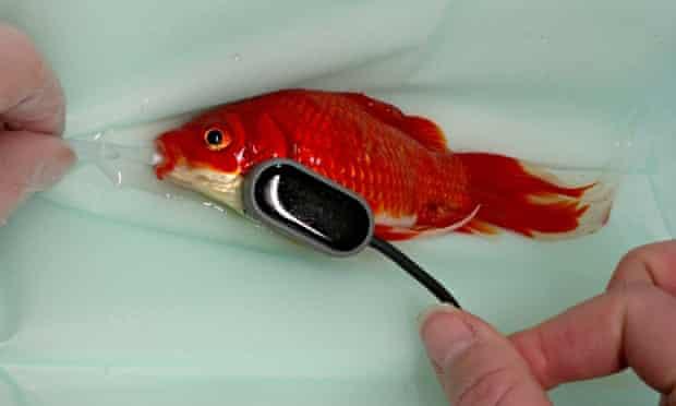 goldfish saved by operation