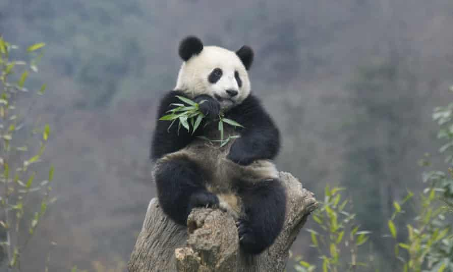 How many pandas are there left in the wild?