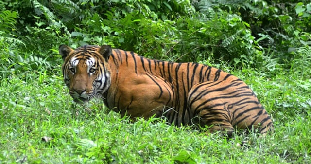 essay on save tigers in 150 words