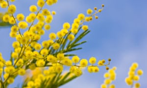 Close up of mimosa tree blossom and blue sky