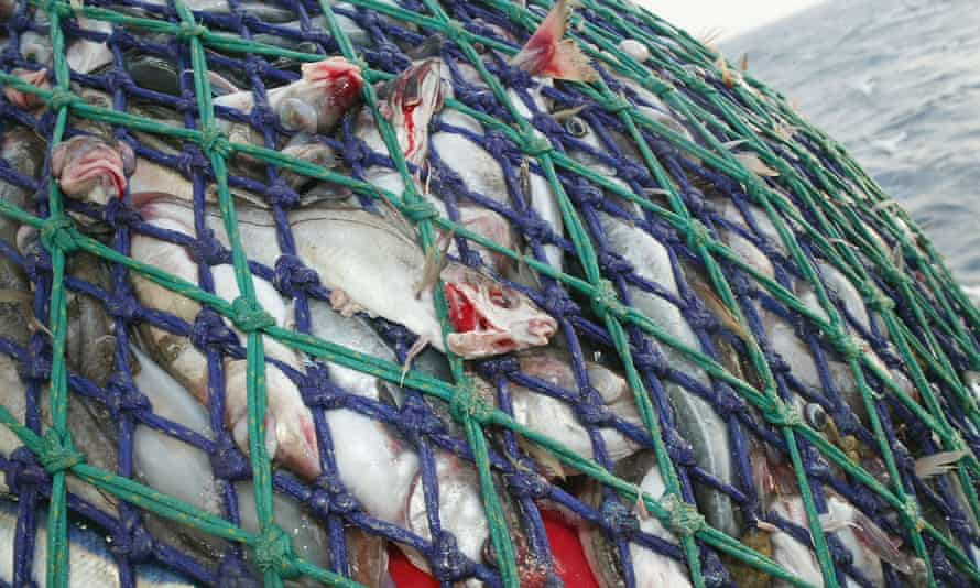 The nets brimming with fish are hauled onto the Scottish trawler, Carina, some 70 miles off the North coast of Scotland, in The North Atlantic