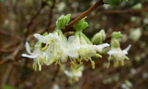 Winter-flowering honeysuckle (Lonicera fragrantissima) in bloom.