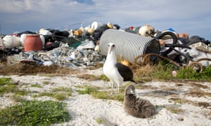 Load of rubbish: an albatross and chick with a pile of marine debris on Midway Atoll in the north Pacific.