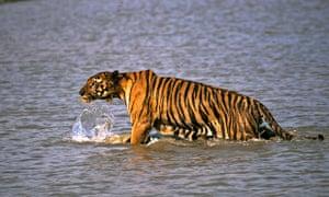 bengal tiger in sundarban delta